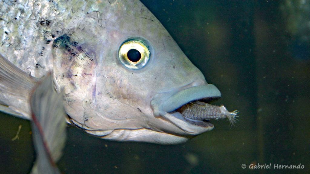 Oreochromis mossambicus (Vichy, congrès AFC 2007)