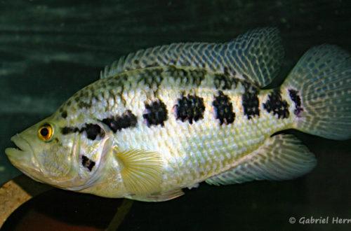 Parachromis managuensis (Club aquariophile de Vernon, juin 2004)