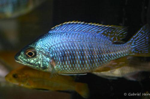 """Placidochromis sp.""""Jalo"""" (Vichy, congrès AFC 2007)Placidochromis sp.""""Jalo"""" (Vichy, congrès AFC 2007)"""