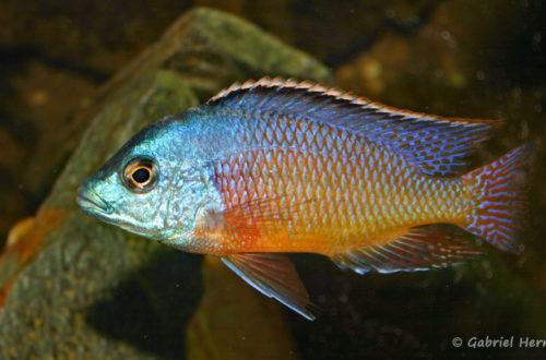 Protomelas taeniolatus, mâle de la variété de Namalenje (chez Gilles Garrier, décembre 2006)