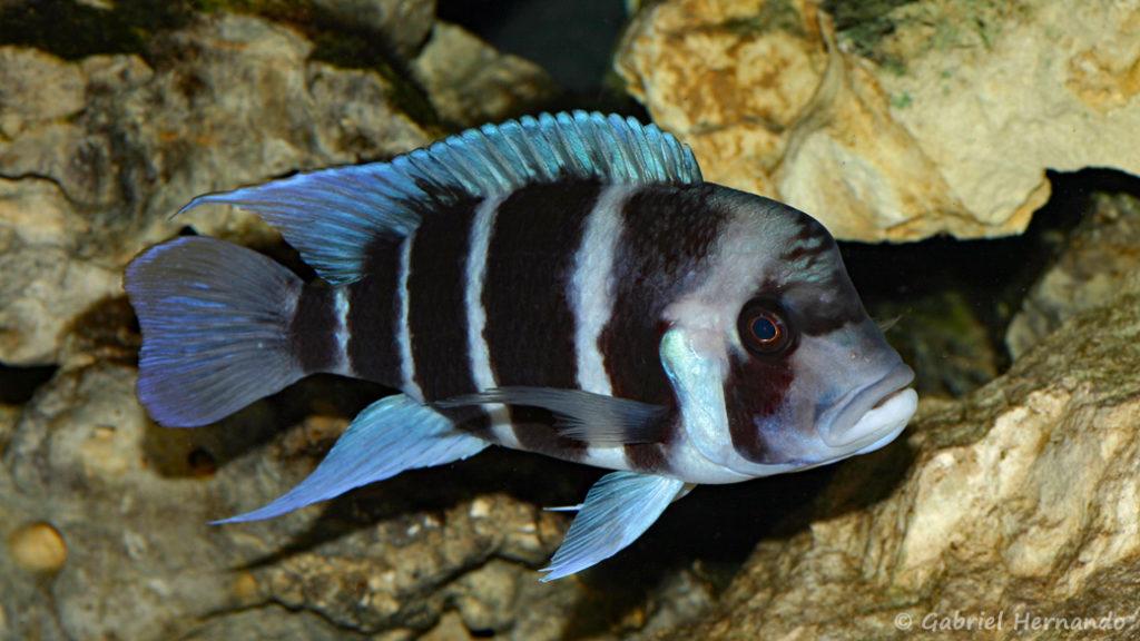 Cyphotilapia gibberosa du Zaire (Club aquariophile de Vernon, février 2008)