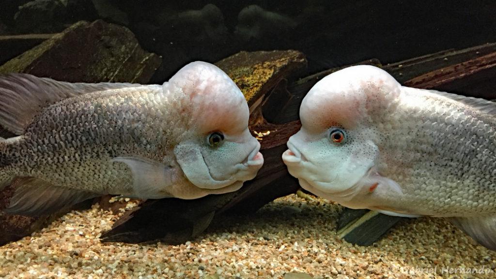 Vieja breidohri (Club aquariophile de Vernon, mai 2018)