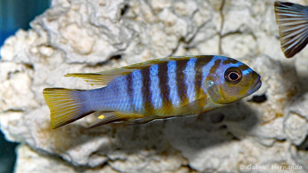 "Maylandia sp. ""zebra long pelvic"", Variété de Chesese (Abysse, mars 2008)"