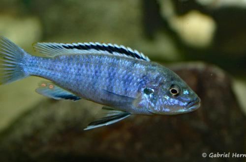 Labidochromis joanjohnsonae, mâle (Club aquariophile de Vernon, juillet 2004)