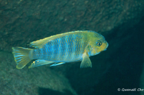 Petrotilapia palingnathos, in situ à Taiwan Reef