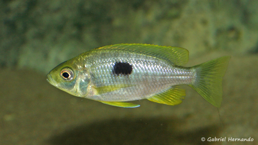Copadichromis pleurostigma, femelle