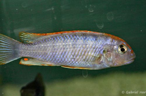 """Pseudotropheus sp. """"perspicax orange cap"""" (Abysse, mars 2010)"""