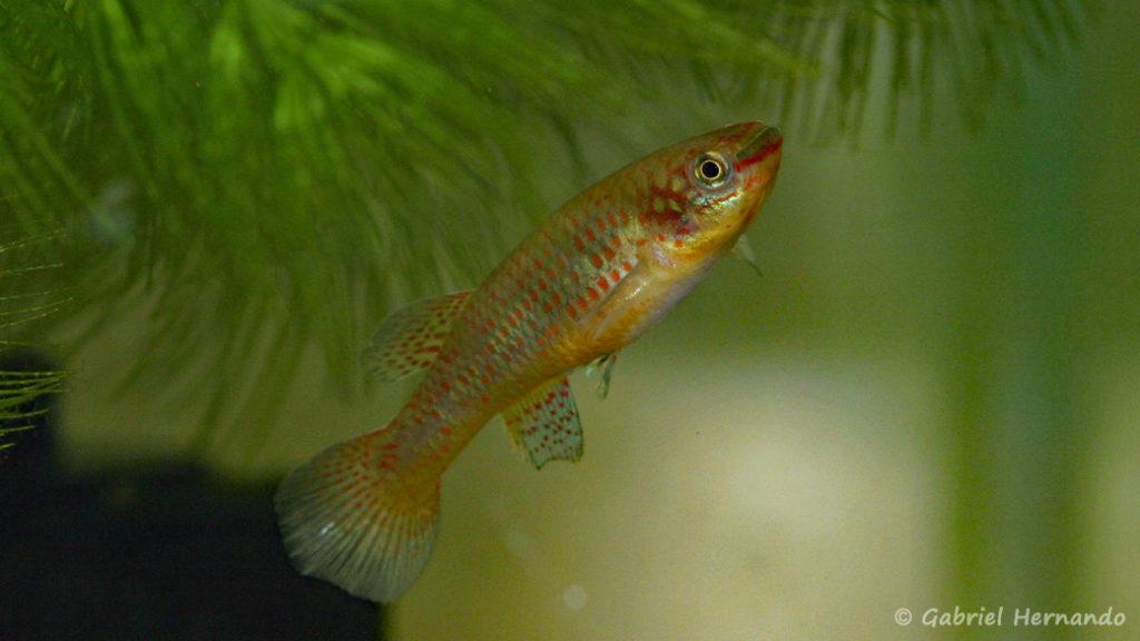 Scriptaphyosemion guignardi, variété de Mamou (Club aquariophile de Vernon, septembre 2008)