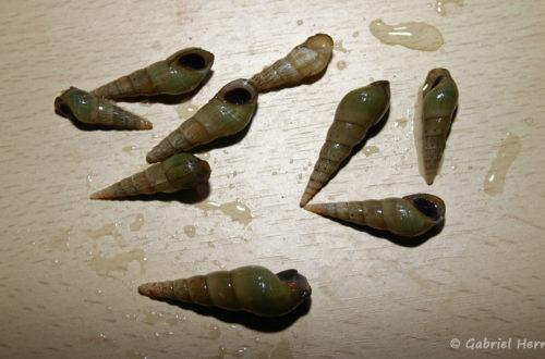 Melanoides tuberculata (Club aquariophile de vernon, juin 2012)