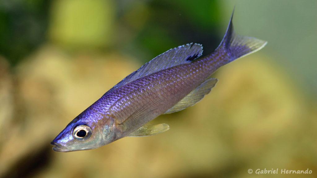 Cyprichromis leptosoma, variété de Mamelesa, forme bleue (Dans le local de Steve et Jérôme, Suisse, décembre 2008)