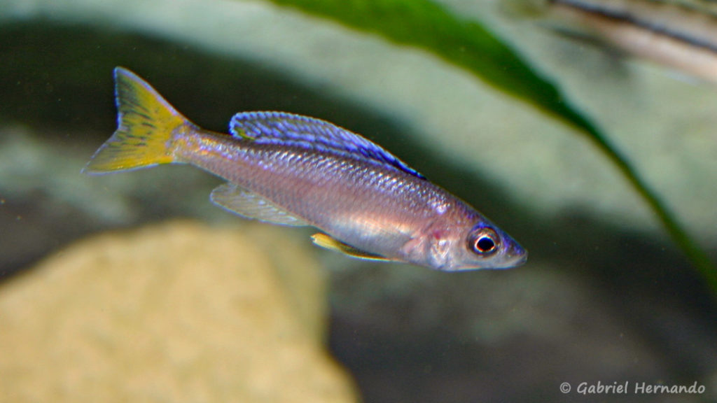 Cyprichromis leptosoma, variété de Isanga (Club aquariophile de Vernon, novembre 2004)
