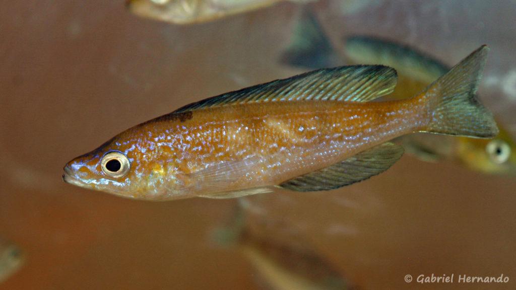 Cyprichromis microlepidotus, variété de Cap Caramba (Nancy, congrès AFC 2008)