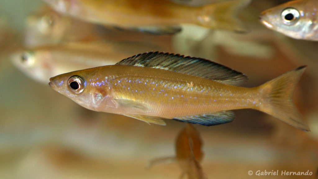 Cyprichromis microlepidotus, variété de Kasai (Nancy, congrès AFC 2008)
