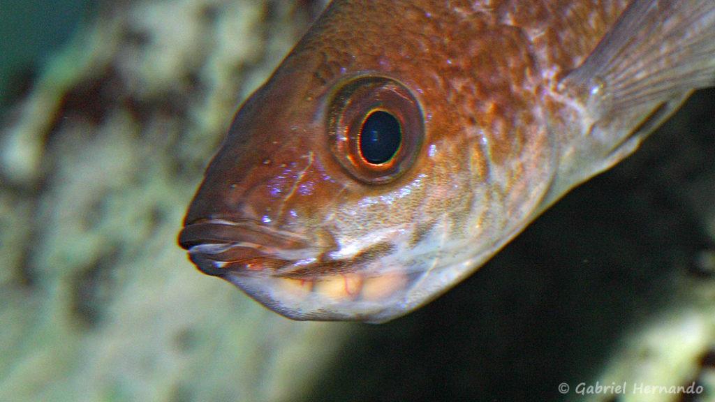 Cyprichromis microlepidotus, variété de Karilani, femelle incubant ses œufs (Club aquariophile de Vernon, septembre 2009)
