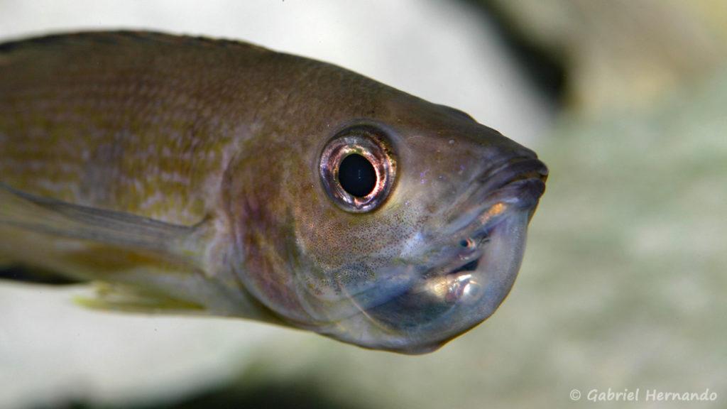 Cyprichromis microlepidotus, variété de Karilani, femelle incubant ses œufs (Club aquariophile de Vernon, octobre 2009)