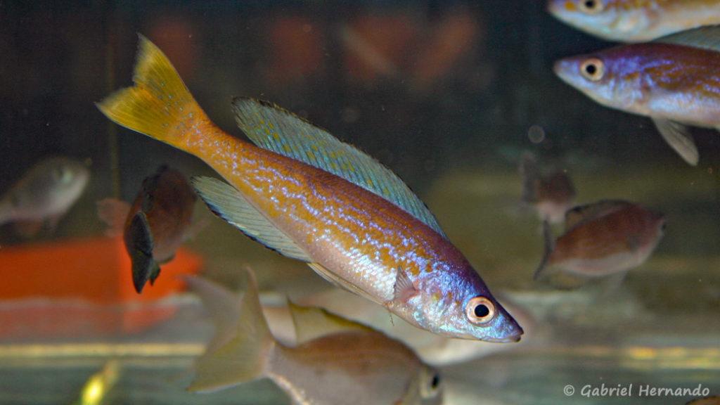 Cyprichromis microlepidotus, variété de Magara (Vichy, congrès 2004)
