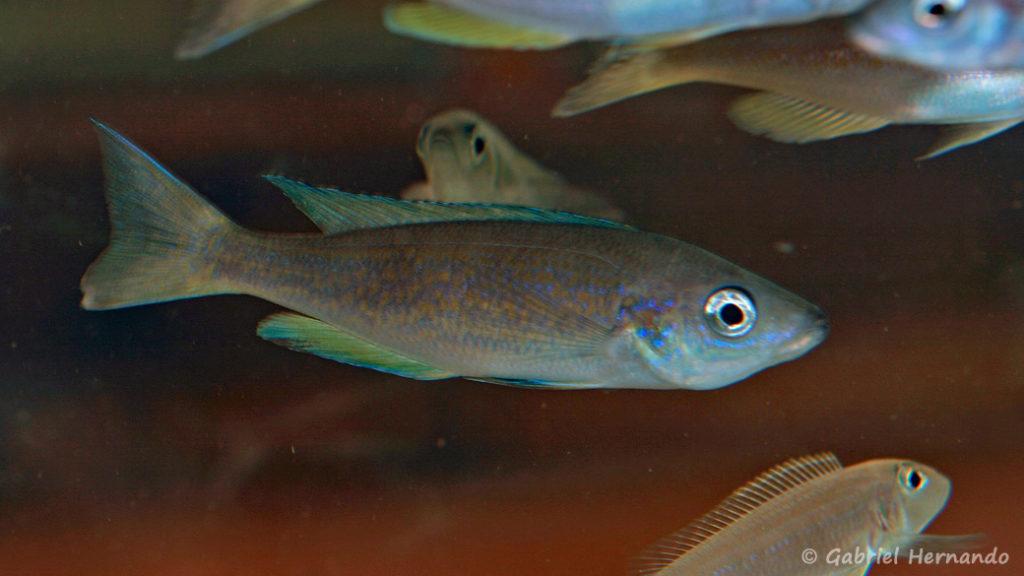Cyprichromis pavo, variété de Nangu (Nancy, congrès AFC 2008)