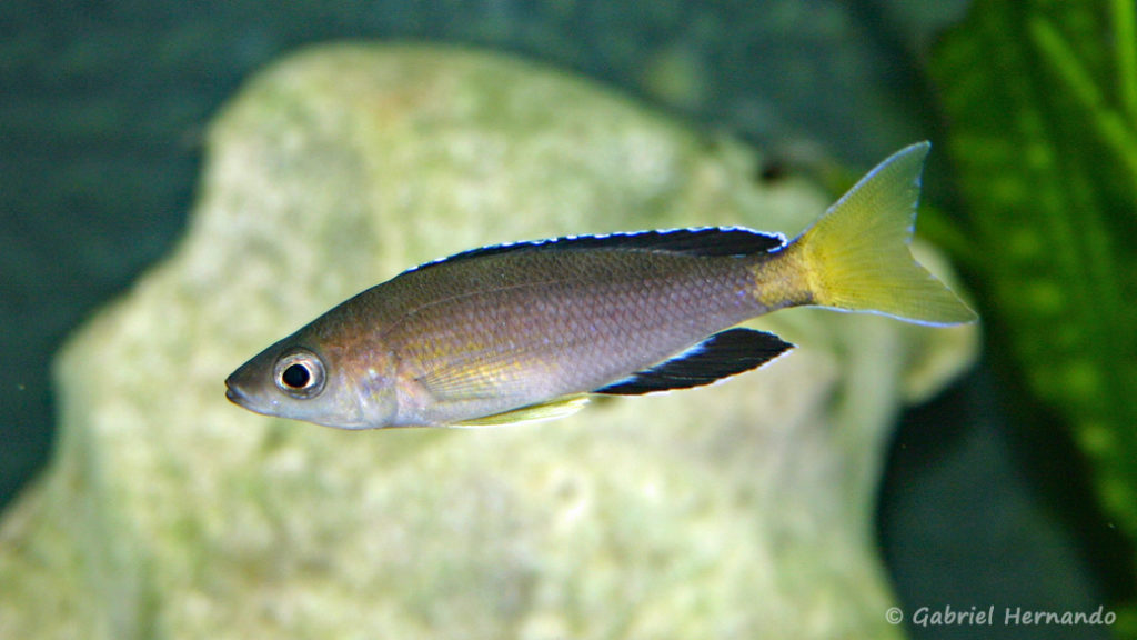 "Cyprichromis sp. ""Jumbo"", mâle de la variété de Chaitika (Club aquariophile de Vernon, août 2004)"