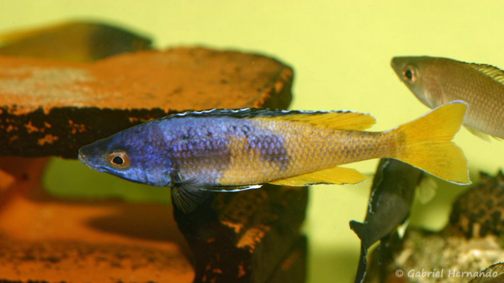 "Cyprichromis sp. ""Jumbo"", mâle de la variété de Kitumba (Aquabeek, mars 2009)"