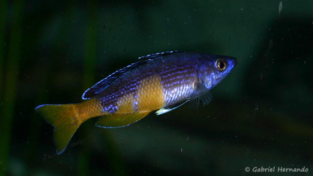 "Cyprichromis sp. ""Jumbo"", mâle de la variété de Kitumba (Abysse, mars 2008)"