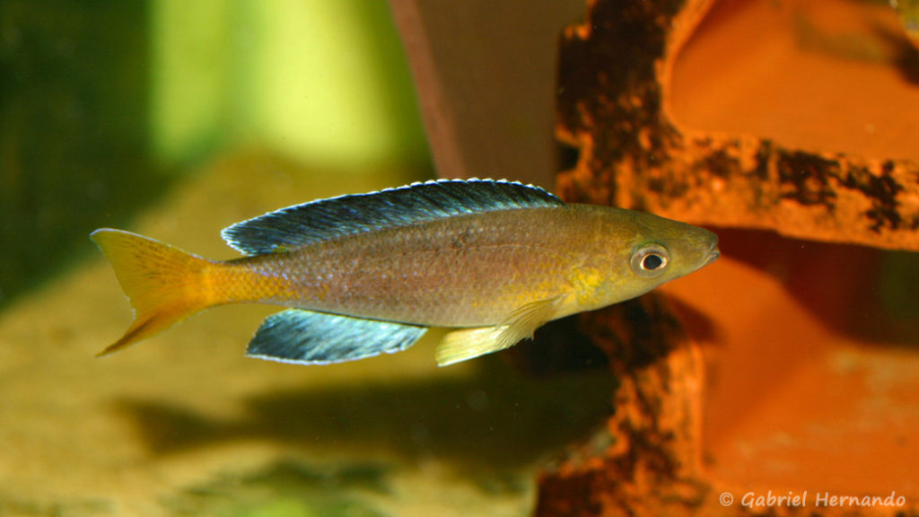 "Cyprichromis sp. ""Jumbo"", mâle de la variété de Sibwesa (Aquabeek, mars 2009)"