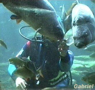 Le nourrissage des carpes par un plongeur