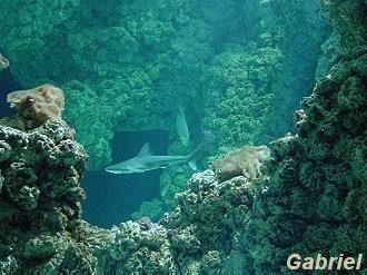 Le Mérou Grace Kelly (Chromileptes altivelis), un poissons de toute beauté, dans un bac tout aussi beau.