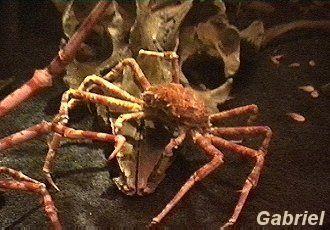 De grosses araignées de mer