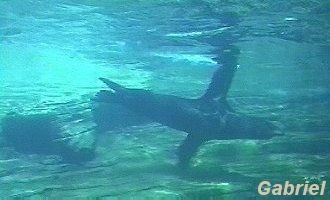 Les lions de mer vus à travers le tunel de verre