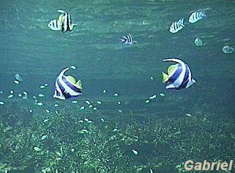 De nombreux poissons, avec au premier plan des Heniochus acuminatus