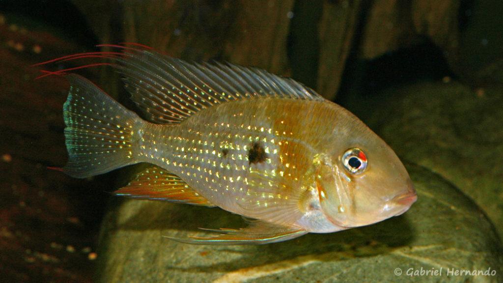 Acarichthys heckelii (Club aquariophile de Vernon, septembre 2008)