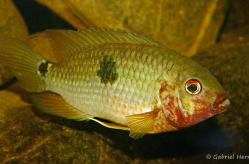 Aequidens tetramerus (Club aquariophile de Vernon, juin 2004)