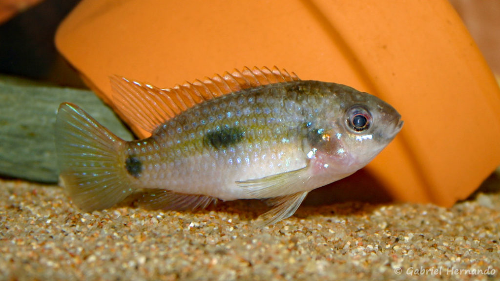 Anomalochromis thomasi (Club aquariophile de Vernon, décembre 2004)