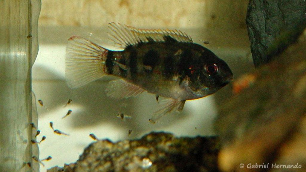 Anomalochromis thomasi avec ses alevins (Club aquariophile de Vernon, février 2001)