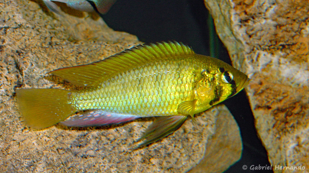 Astatoreochromis alluaudi (Club aquariophile de Vernon, février 2004)
