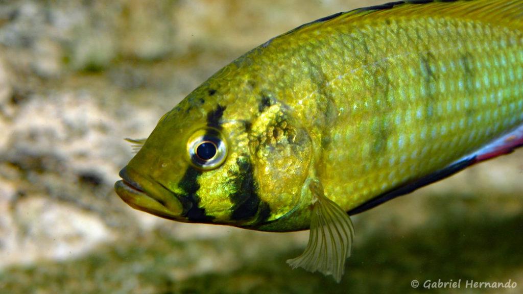 Astatoreochromis alluaudi (Club aquariophile de Vernon, juin 2004)