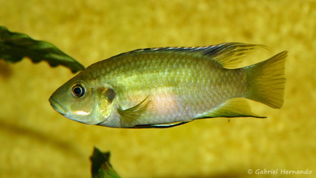 Benitochromis nigrodorsalis (Association aquariophile de Rouen, avril 2006)