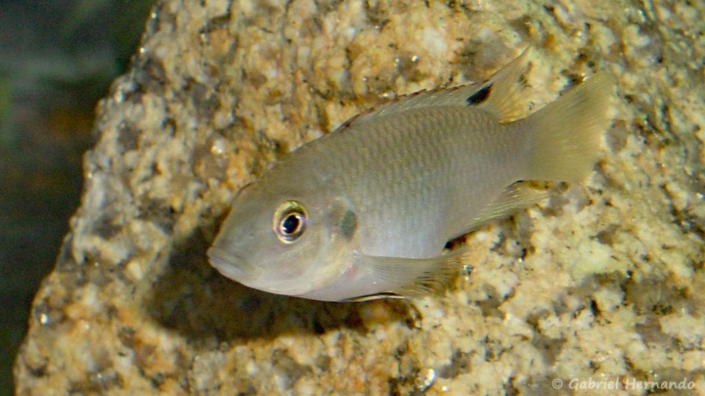 Benitochromis nigrodorsalis (Club aquariophile de Vernon, mais 2004)