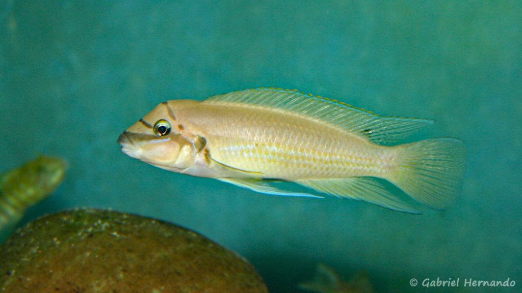 Chalinochromis brichardi (chez Benoît Jonas, juillet 2009)