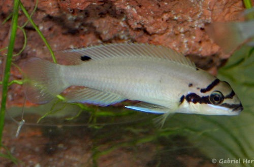 Chalinochromis brichardi (Vichy, congrès AFC 2005)