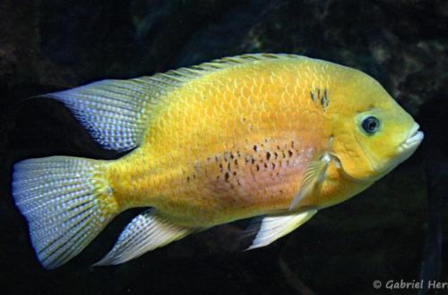Cincelichthys bocourti (Aquarium du Palais de la Porte Dorée, décembre 2004)