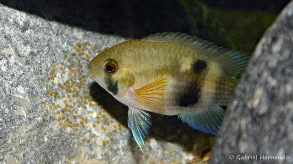 Cleithracara maronii avec ses œufs (club aquariophile de Vernon, juin 2004)