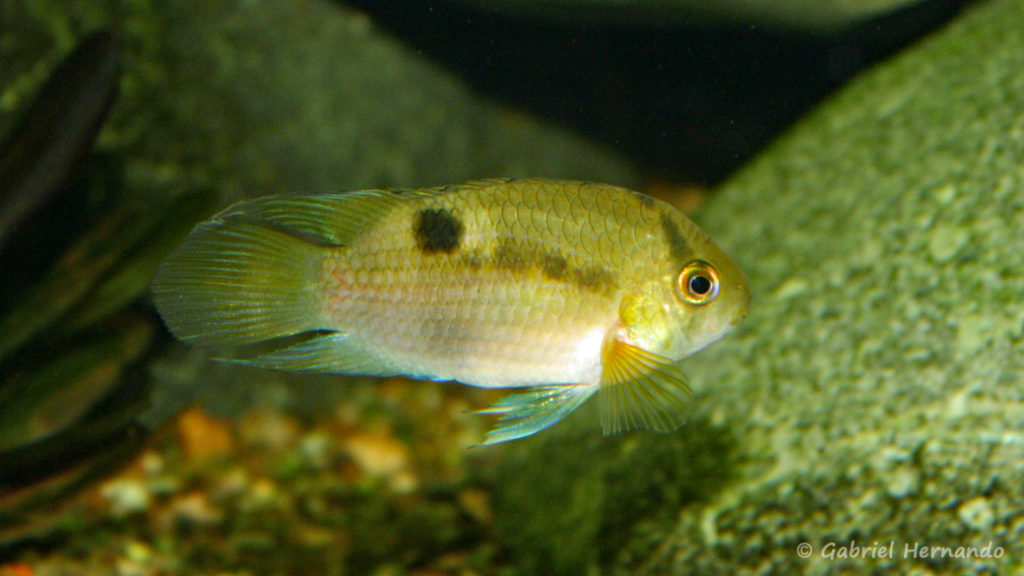 Cleithracara maronii (club aquariophile de Vernon, juin 2004)
