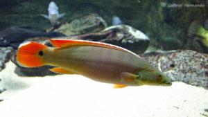 """Crenicichla sp. """"Xingu"""", femelle (Aquarium du palais de la Porte Dorée, décembre 2004)"""