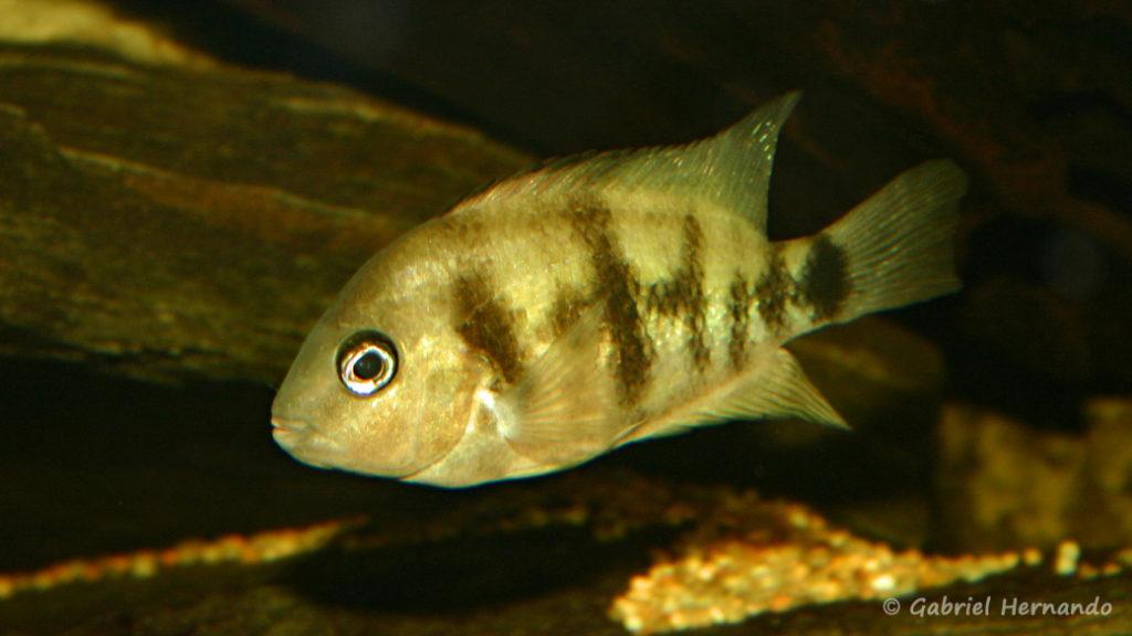 Cryptoheros cutteri (Club aquariophile de Vernon, juin 2004)