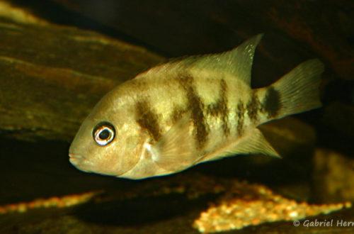 Cryptoheros spilurus (Club aquariophile de Vernon, juin 2004)