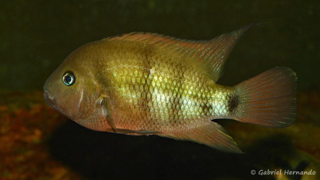 Cryptoheros spilurus (Club aquariophile de Vernon, avril 2008)