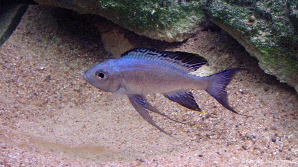 Cyathopharynx furcifer (Saint-Malo, aquarium intra muros, février 2002