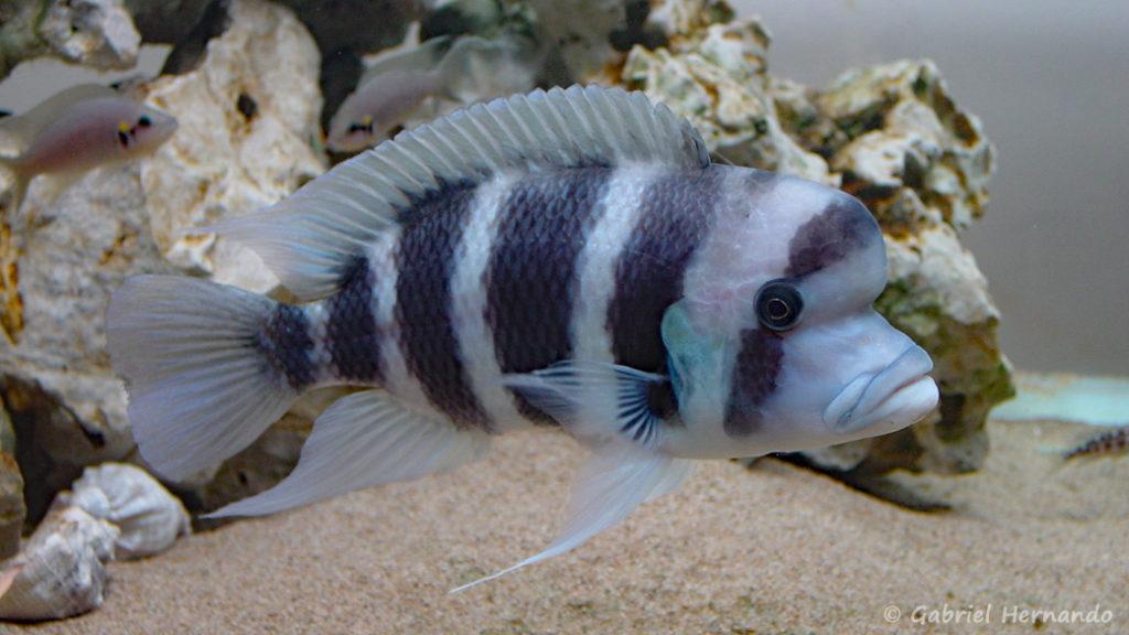 "Cyphotilapia sp. ""Nord"" (Club aquariophile de Vernon, septembre 2002)"