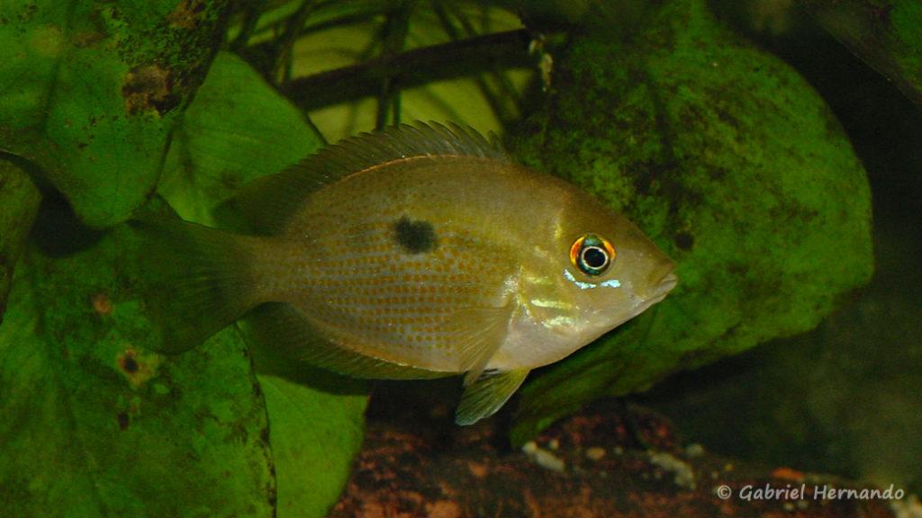 Etroplus maculatus (Club aquariophile de Vernon, juillet 2003)